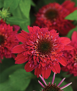 Echinacea, Double Scoop Raspberry PPAF, , large